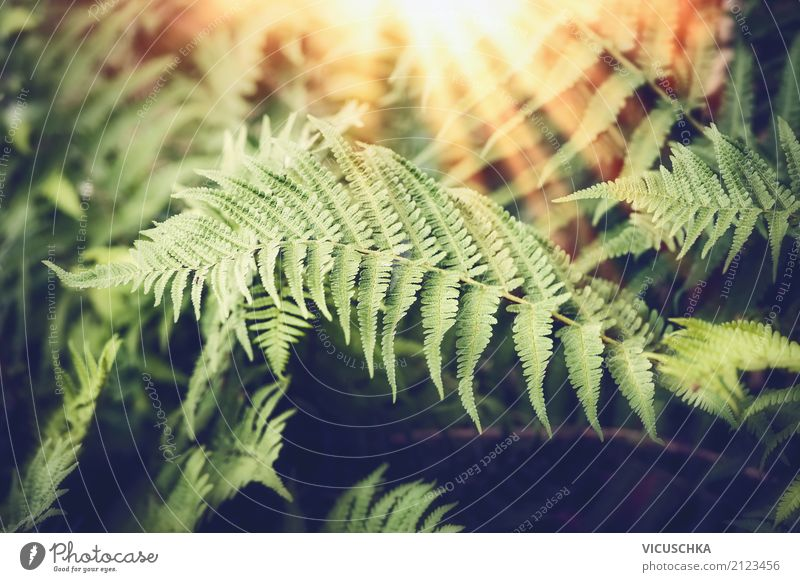 Fern leaves with sunrays Design Far-off places Summer Nature Plant Sunrise Sunset Beautiful weather Foliage plant Forest Virgin forest Fern leaf Tropical
