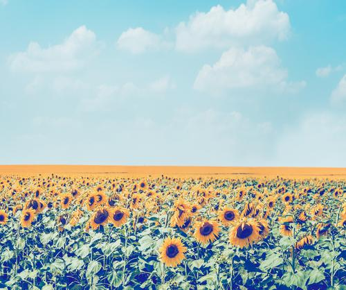 Sky Nature Plant Summer Landscape Flower Yellow Lifestyle Blossom Meadow Style Design Field Retro Beautiful weather Agriculture