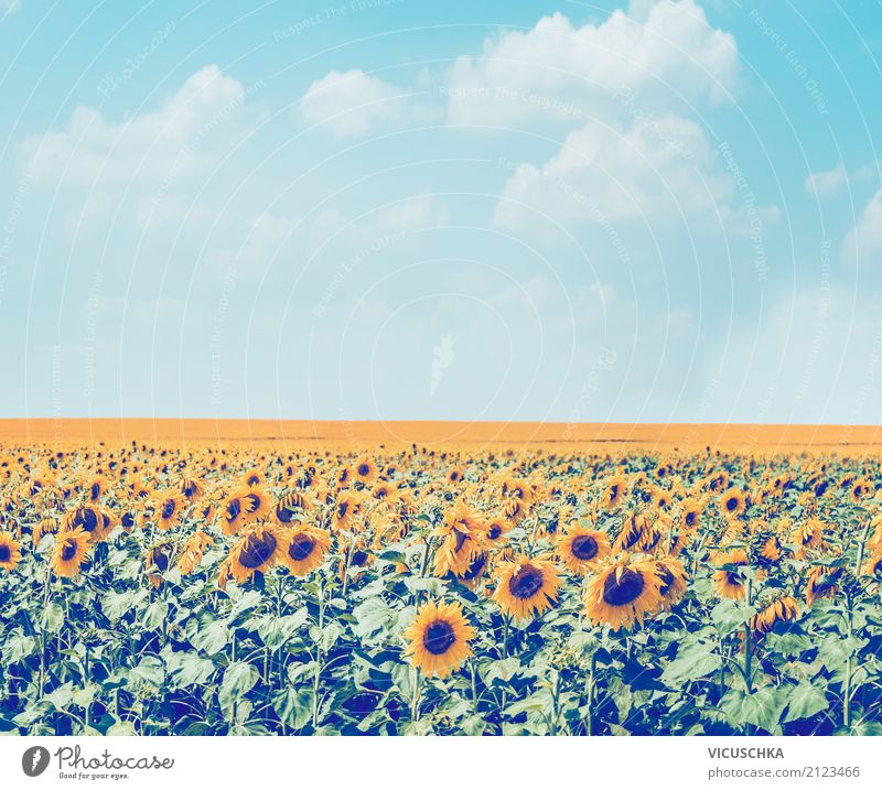Sunflowers field in the sky background Lifestyle Summer Nature Landscape Plant Beautiful weather Flower Blossom Agricultural crop Meadow Field Retro Yellow