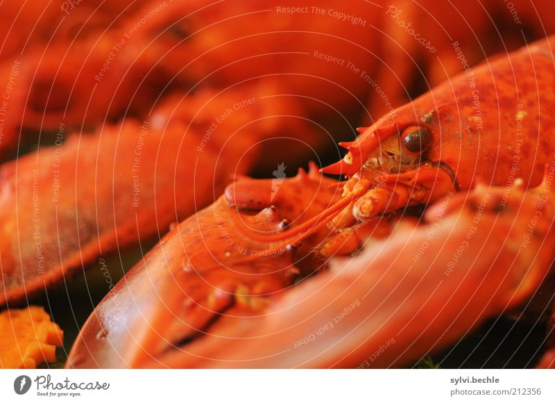 Red Eyes Nutrition Animal Lie Observe Delicious Appetite Banquet Exotic Dinner Brunch Claw Buffet Shell Food