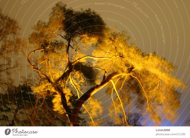 burning tree Timmendorf beach Spa gardens Tree Night Baltic Sea Lighting Floodlight Twig Branch