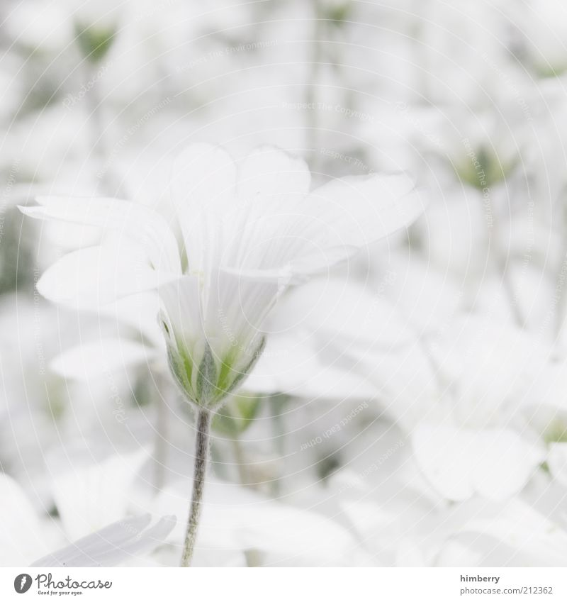 Nature White Beautiful Plant Flower Summer Calm Relaxation Life Environment Blossom Spring Bright Contentment Esthetic Delicate