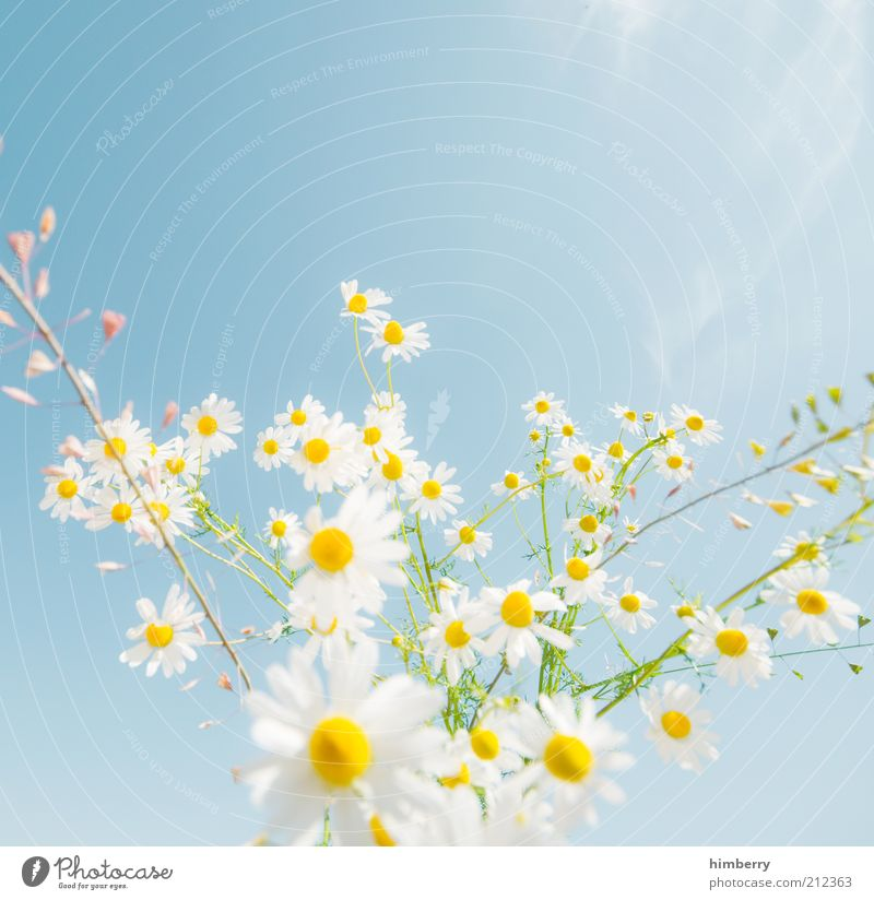 Nature Plant Blossom Design Environment Esthetic Growth Kitsch Blossoming Beautiful weather Blue sky Chamomile Camomile blossom