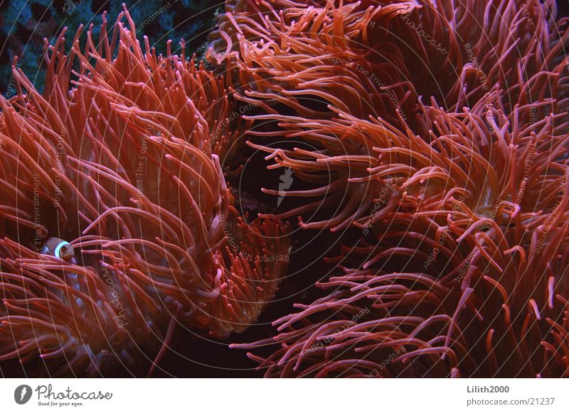Coral Sea Anemone Finding Nemo Clown fish Aquarium Zoo Cologne Red Fish Macro (Extreme close-up)