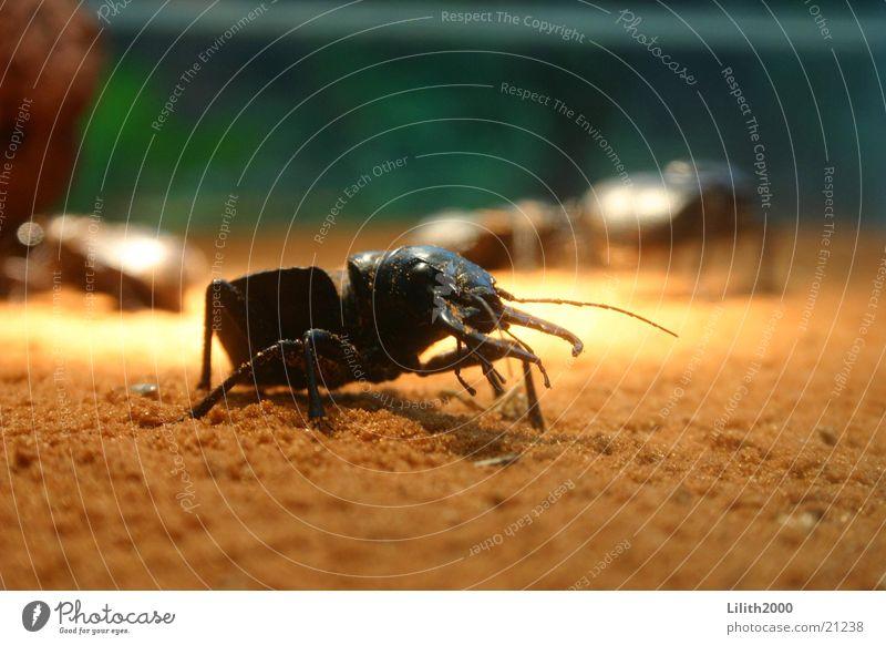 Big Beetle Cologne Zoo Stag beetle Antlers Sand terrarirum Macro (Extreme close-up)