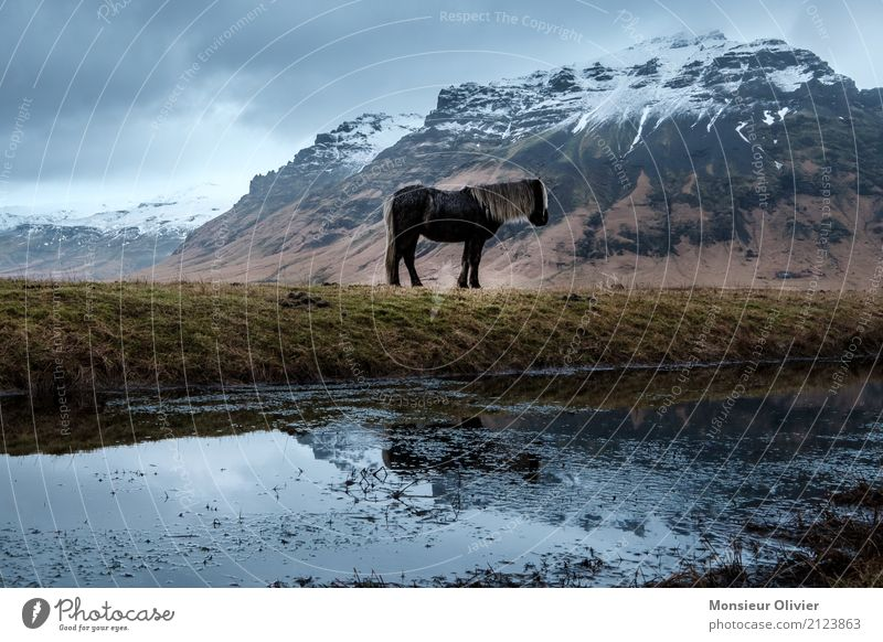 Iceland pony Weather Bad weather Storm Mountain Animal Horse Emotions Moody Iceland Pony Snow Colour photo Subdued colour Exterior shot Deserted Day Reflection