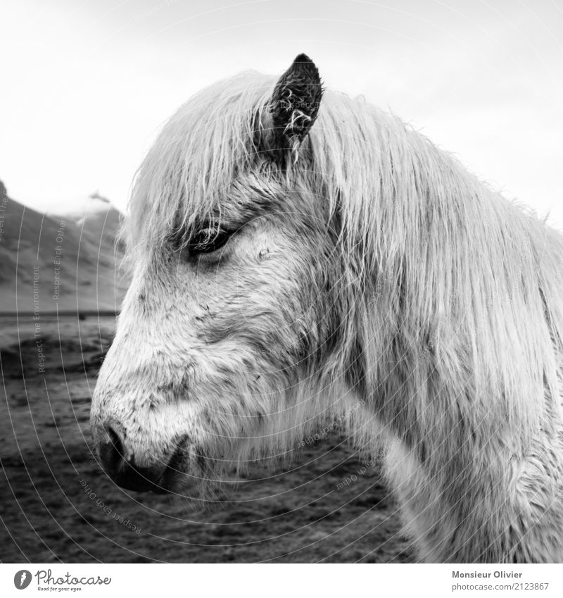 Icelandic pony Animal Horse 1 Love of animals Bangs Iceland Pony Black & white photo Exterior shot Deserted