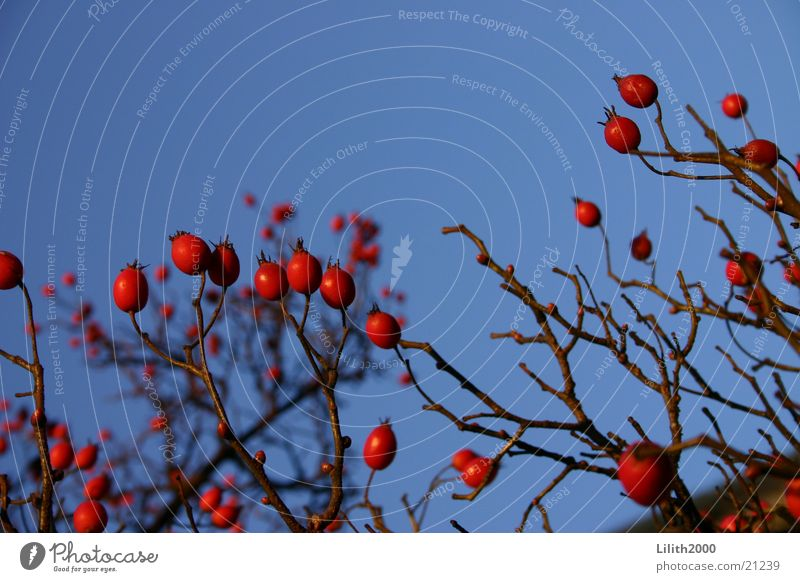 natural contrast Tree Red Maastricht Netherlands Berries Blue Sky Twig Macro (Extreme close-up)