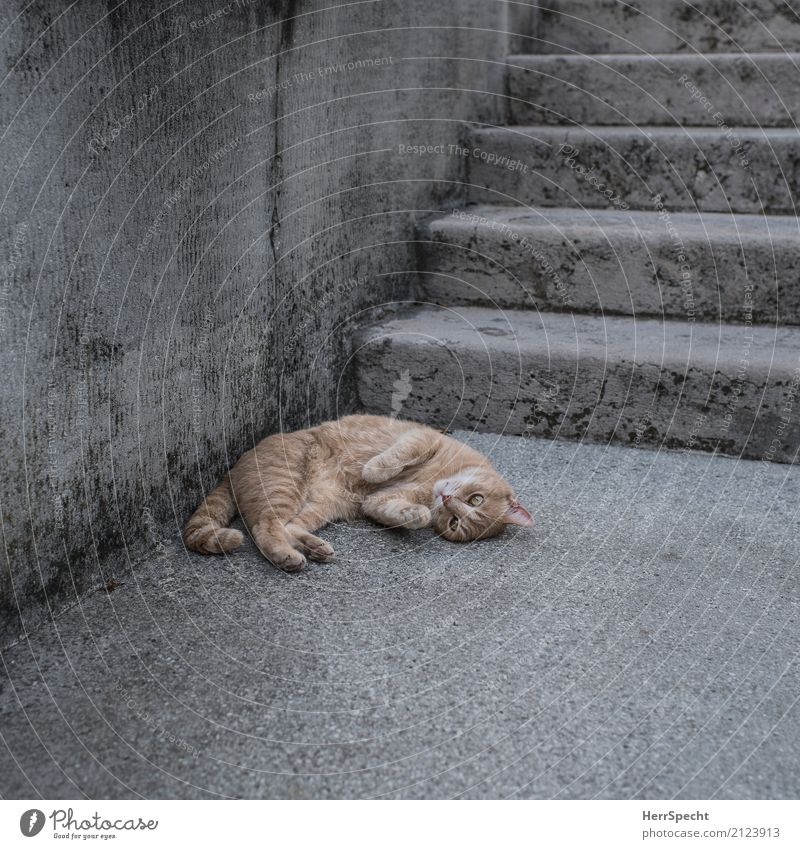 Cat Beautiful Red Relaxation Animal Calm Wall (building) Wall (barrier) Gray Brown Contentment Stairs Lie Soft Break Village