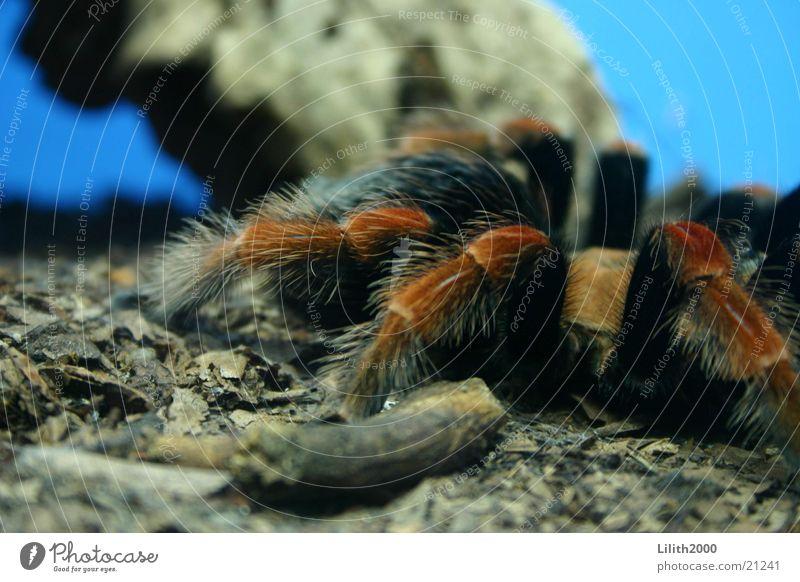Beauty & Beauty Spider Zoo Cologne Terrarium Tarantula