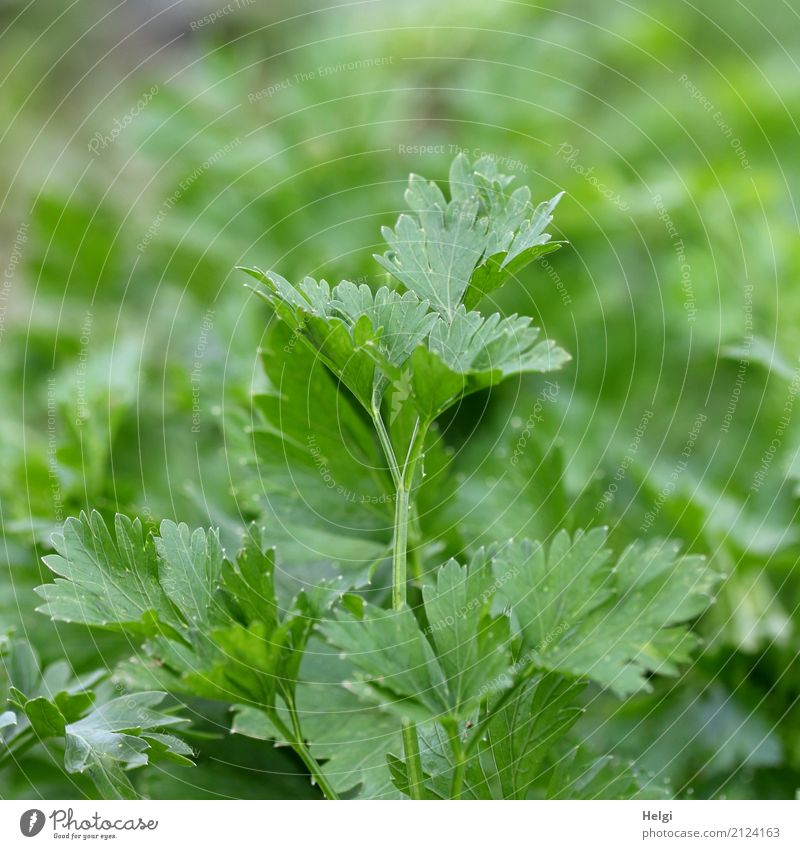 kitchen herb Food Herbs and spices Parsley Nutrition Organic produce Vegetarian diet Environment Nature Plant Summer Beautiful weather Leaf Agricultural crop