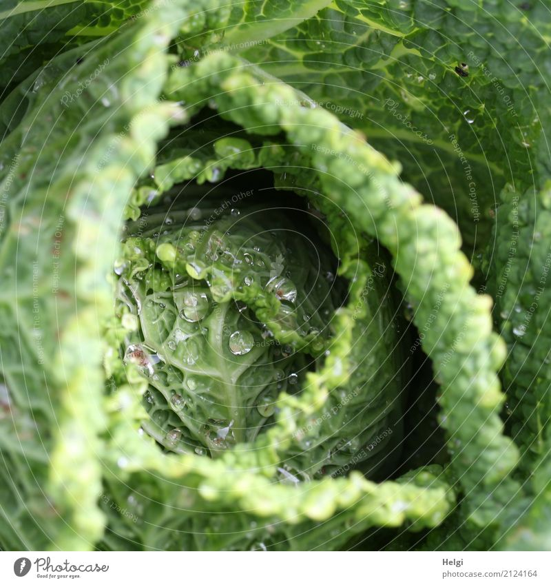 cabbage top Food Vegetable Savoy cabbage Cabbage Nutrition Plant Drops of water Summer Leaf Agricultural crop Garden Growth Fresh Healthy Uniqueness Delicious