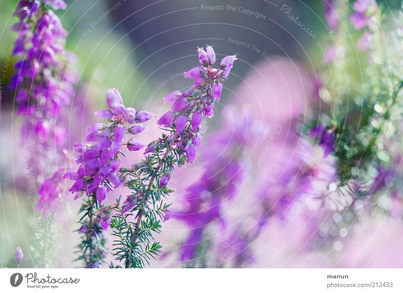 Heather /la land Environment Nature Plant Flower Bushes Blossom Wild plant Heather family Heathland Mountain heather Summery Summerflower Blossoming Glittering