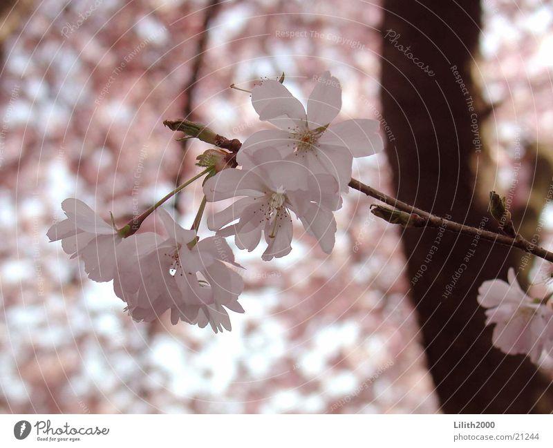 cherry Pink Cherry Spring Blossom Tree Cherry tree Garden Twig Cherry blossom