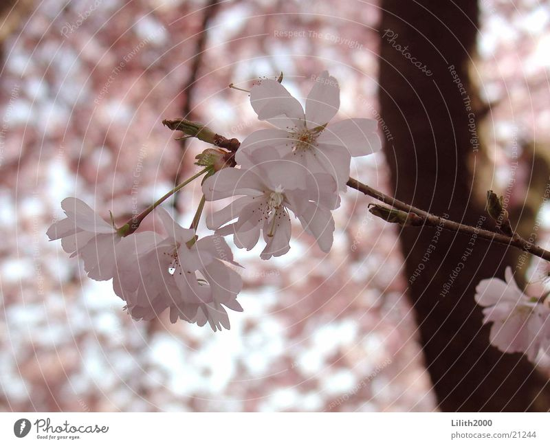 Tree Blossom Spring Garden Pink Twig Cherry Cherry blossom Cherry tree