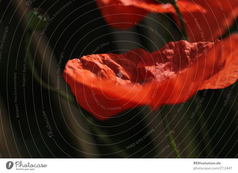 """Can you blush?"" Environment Nature Plant Flower Wild plant Esthetic Natural Beautiful Red Poppy Blossom Blossoming Bud Stalk Delicate Fine Growth Colour photo"