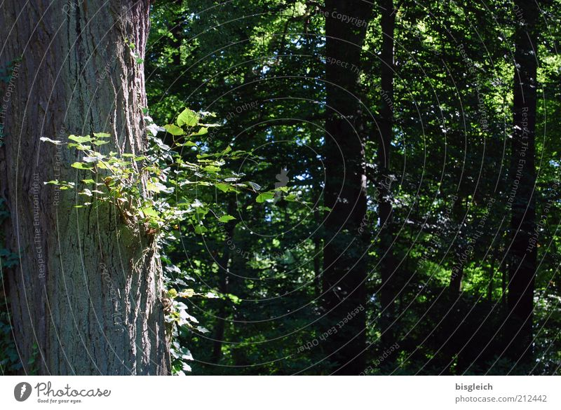 Nature Tree Green Plant Summer Calm Leaf Forest Relaxation Wood Tree trunk Twigs and branches