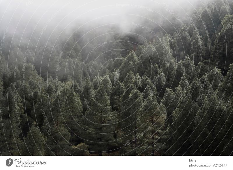 Nature Tree Plant Forest Dark Mountain Landscape Fog Exceptional Spooky Canaries Jinxed Coniferous forest Covering of fog