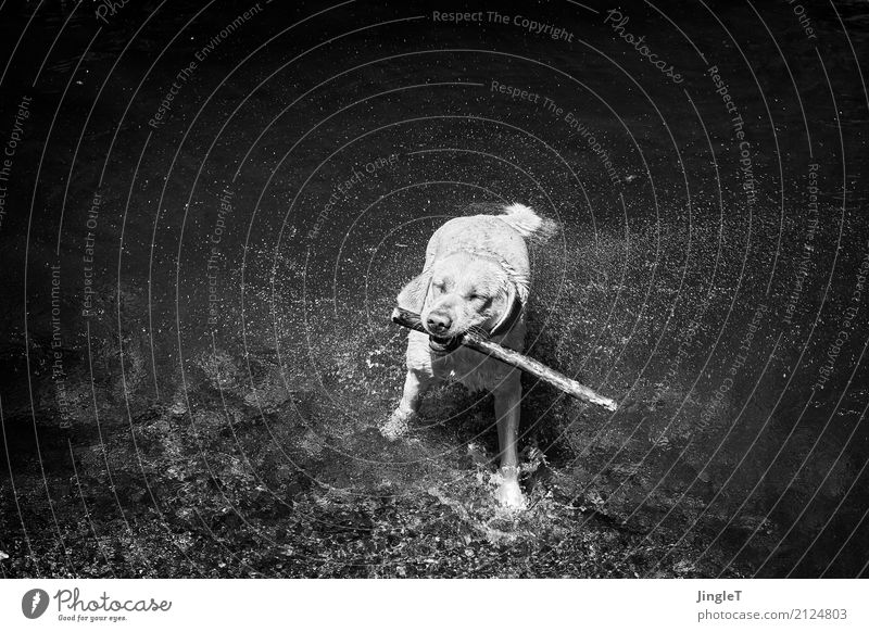 water features Environment Nature Landscape Water Animal Dog Animal face Pelt Labrador 1 Playing Wet Gray Black White Joie de vivre (Vitality) Pure Joy