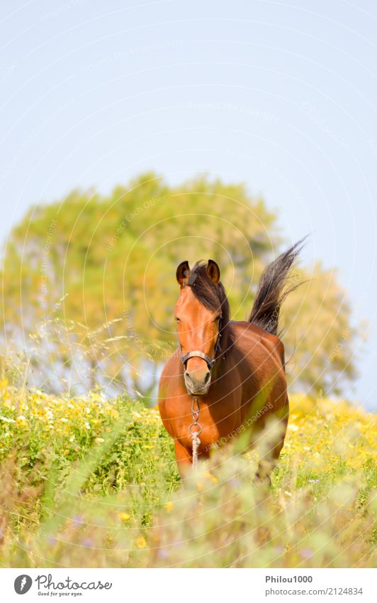 Brown horse in a meadow filled with daisies Nature Summer Green White Animal Black Meadow Sports Grass Wild Pasture Horse Farm Beauty Photography Pet
