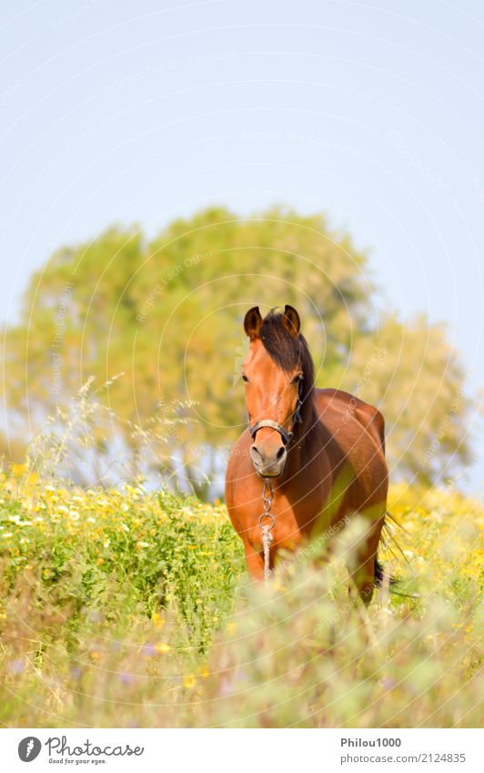 Brown horse in a meadow filled with daisies Summer Sports Nature Animal Grass Meadow Pet Horse Wild Green Black White background bay beatiful Beauty Photography