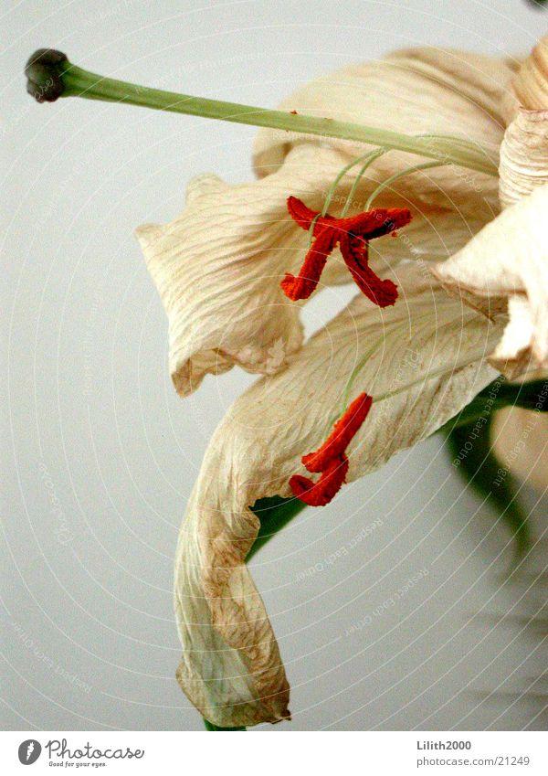 White Flower Green Plant Leaf Blossom Orange Beige Lily Pistil Faded Limp