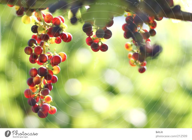 grapes Food fruit Nutrition Environment Nature Growth Fresh Red Bunch of grapes Vine Vineyard Harvest Grape harvest Agriculture Biological green Autumn Seasons