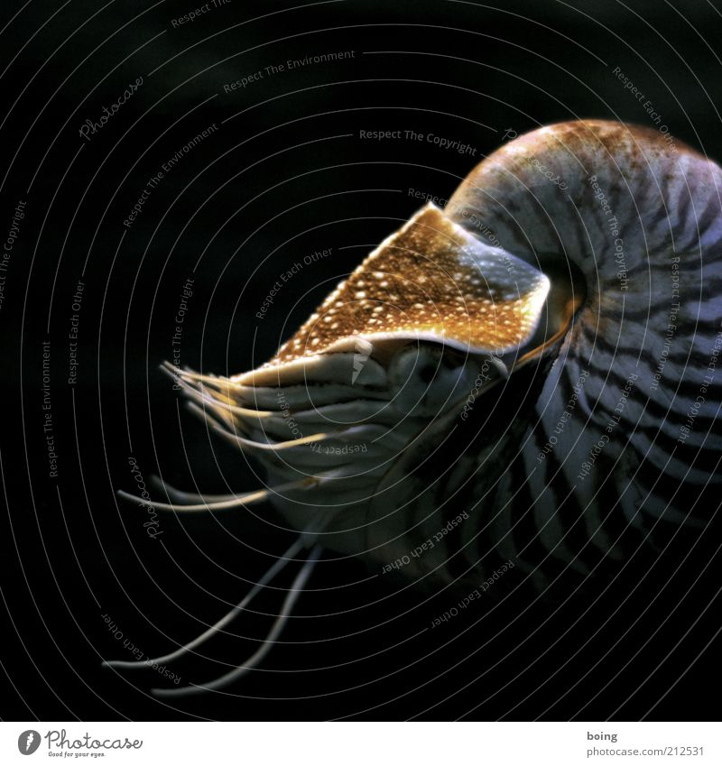 twenty-two thousand miles under the sea. Ocean Snail Mussel Aquarium Nautilus 1 Animal pearl boat cephalopods Underwater photo Swimming & Bathing Copy Space top