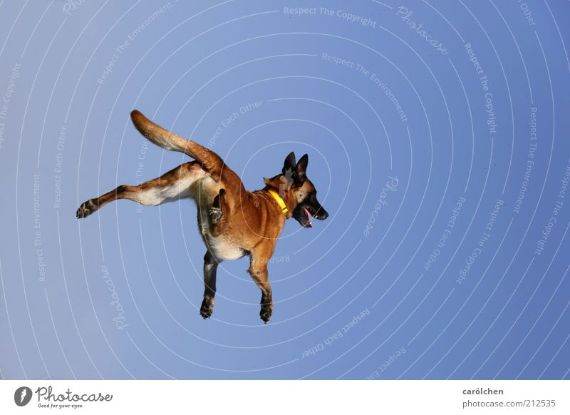 Dog Blue Joy Animal Playing Movement Jump Brown Healthy Flying Speed Crazy Happiness Fitness Brash Pet