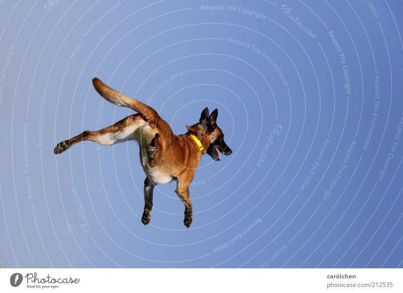 trampoline dog Animal Pet Dog 1 Movement Flying Playing Jump Healthy Brash Happiness Speed Crazy Blue Brown Belgian Shepherd Dog dog sport Joy Vital force
