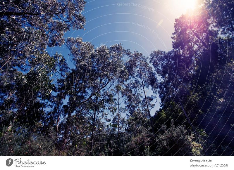 sunshine Environment Nature Landscape Plant Sky Cloudless sky Sun Sunlight Summer Beautiful weather Tree eucalyptus Forest Growth Fragrance Natural Blue Green