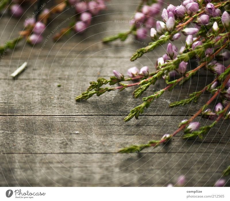 aah Erika! Beautiful Calm Fragrance Plant Flower Bushes Blossoming Violet Pink Wood Heather family Mountain heather Colour photo Exterior shot