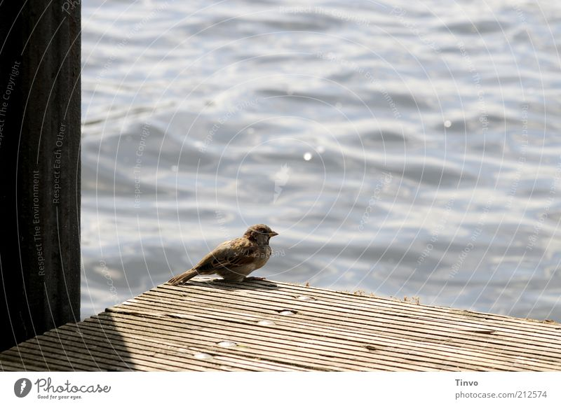 Animal Relaxation Bird Observe Footbridge To enjoy Crouch Sparrow Body of water Water Surface of water