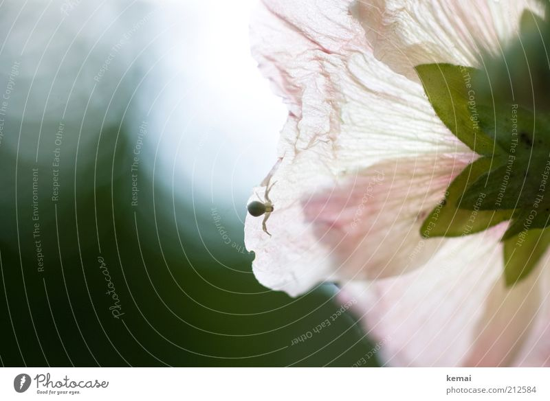 Nature Flower Plant Summer Animal Blossom Bright Small Pink Environment Blossoming Fragrance Beautiful weather Spider Crawl Shadow