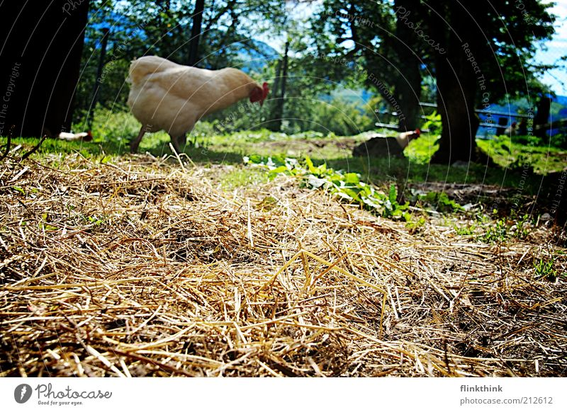 Nature Tree Plant Animal Grass Going Zoo Beautiful weather Barn fowl Feeding Straw Foraging Farm animal Petting zoo