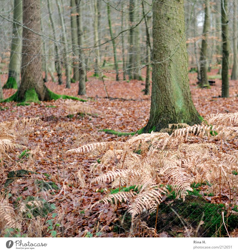 autumn forest Environment Nature Landscape Plant Autumn Winter Tree Moss Forest Natural Contentment Transience Change Fern Limp Leaf Beech wood Subdued colour