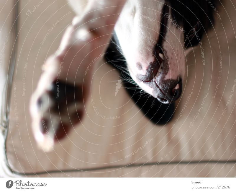 White Black Animal Relaxation Dog Baby animal Lie Speed Teeth Animal face Pelt Paw Claw Light Wake up Dog's snout