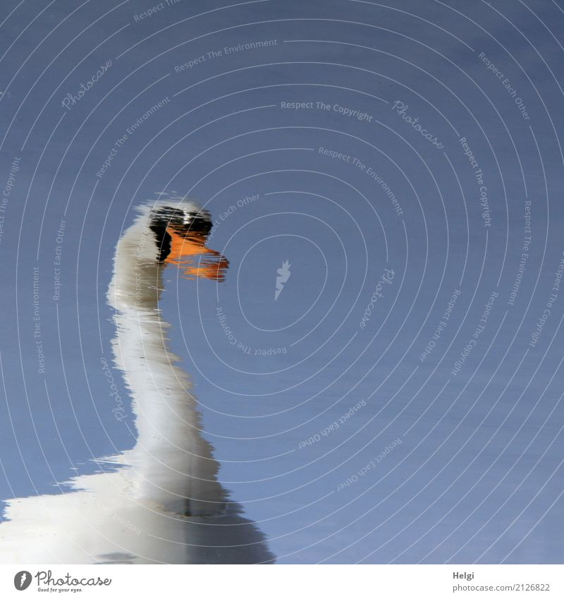 swan lake Environment Nature Water Cloudless sky Spring Beautiful weather Swan 1 Animal Swimming & Bathing Exceptional Uniqueness Blue Orange Black White Calm
