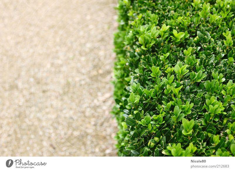 Nature Green Plant Summer Park Sand Environment Arrangement Bushes Hedge Horticulture Box tree