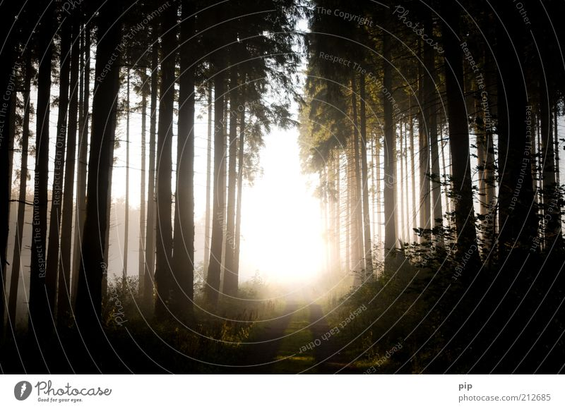 ray of hope Nature Landscape Plant Sun Sunrise Sunset Summer Autumn Climate Weather Beautiful weather Fog Tree Forest Coniferous forest Lanes & trails Footpath