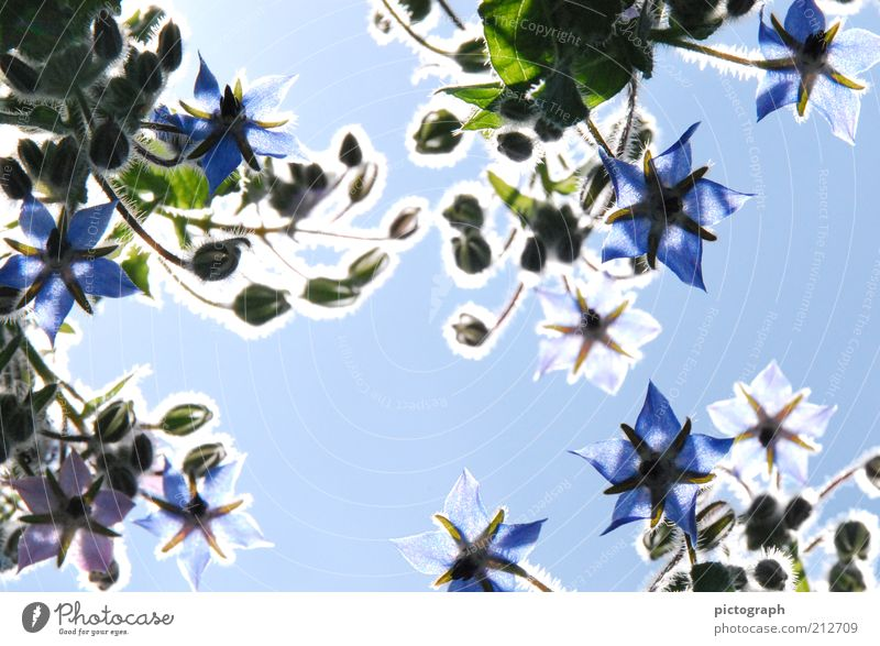 Nature Flower Blue Plant Summer Blossom Moody Background picture Esthetic Blossoming Illuminate Beautiful weather Botany Blue sky Blossom leave
