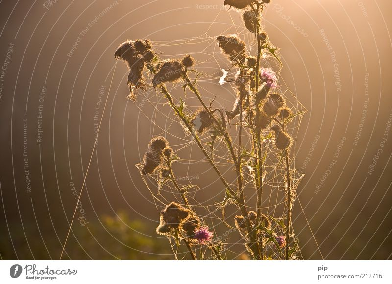"""I think I'm crazy - I lost my thread..."" Environment Nature Plant Summer Autumn Thistle Blossom Brown Diligent Spider's web Woven Weed Thread-like Leaf bud"