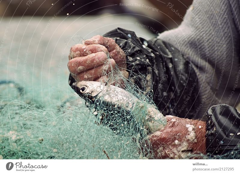 Hands of a fisherman with fishing net and fish Fisherman Fishery Flake Herring Fishing net Work and employment hands Human being