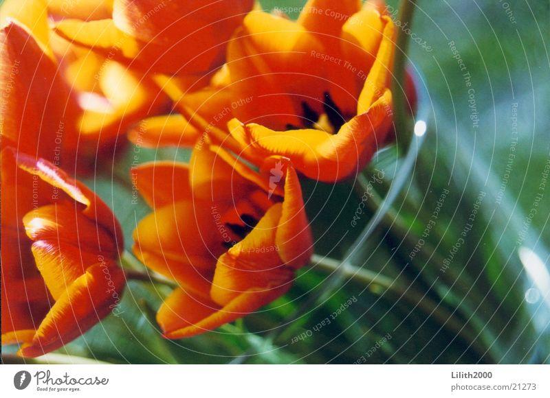 Sun Summer Balcony Tulip Flower Vase Parakeet tulip