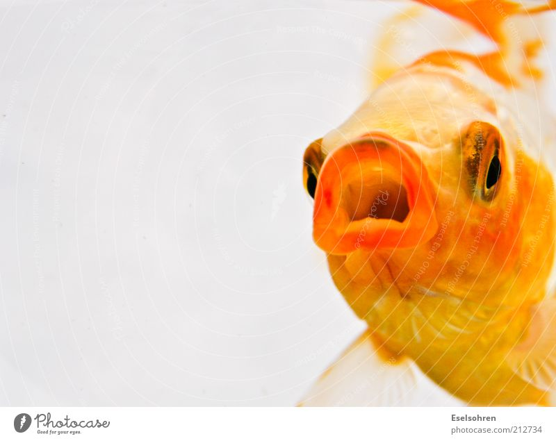 Animal Yellow Relaxation Moody Mouth Gold Swimming & Bathing Fish Cool (slang) Threat Anger Underwater photo Pet Aquarium Aggression Optimism