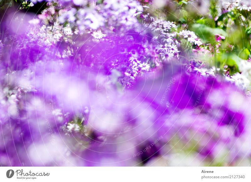 the most beautiful flowers are purple Garden Flowerbed Plant Summer Park Blossoming Fragrance Fresh Beautiful Violet White Enthusiasm Romance Colour Nature
