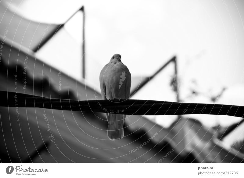 dove Environment Nature Animal Pigeon 1 Black & white photo Exterior shot Day Shallow depth of field Calm Restful
