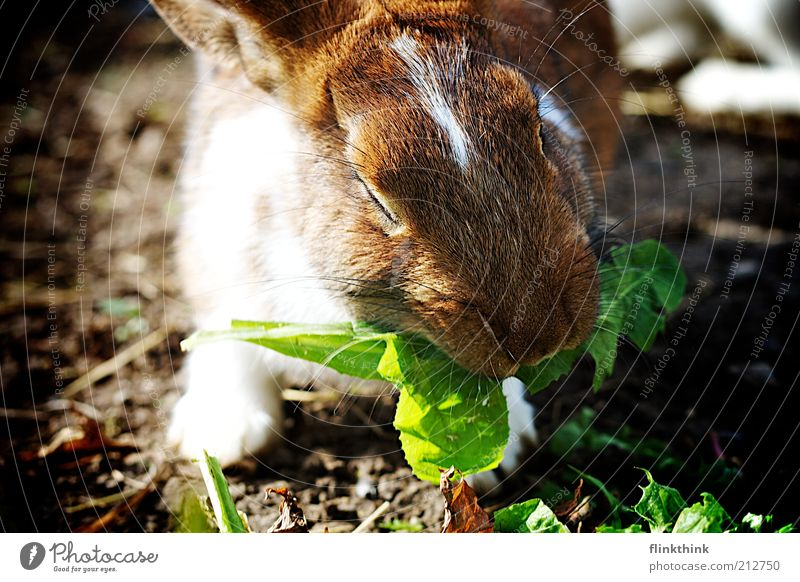 Nature Plant Green Animal Environment Grass Brown Contentment Earth Nutrition Beautiful weather Pelt Dandelion To feed Hare & Rabbit & Bunny Feeding