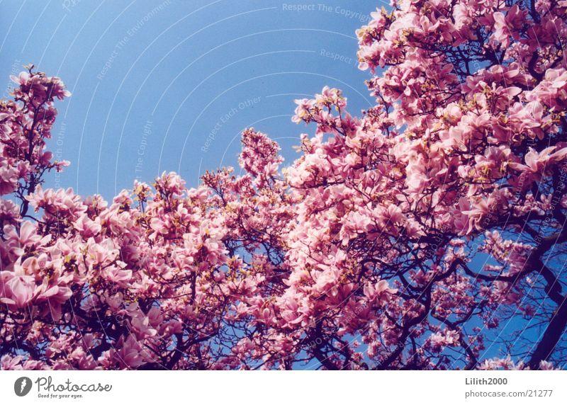 Sky Blossom Spring Garden Cherry Cherry blossom Cherry tree