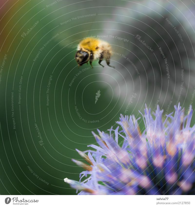 Thistle Hopping Nature Plant Animal Summer Flower Blossom Wild plant Thistle blossom Garden Animal face Wing Bumble bee Insect 1 Blossoming Flying Blue Green